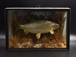 Roach Cased Fish