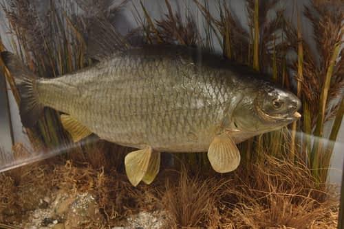 Cased Fish