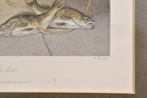 Mezzoprint of a Pike