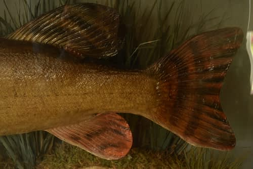 pike - cased fish