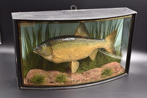 Fish Taxidermy - Roach