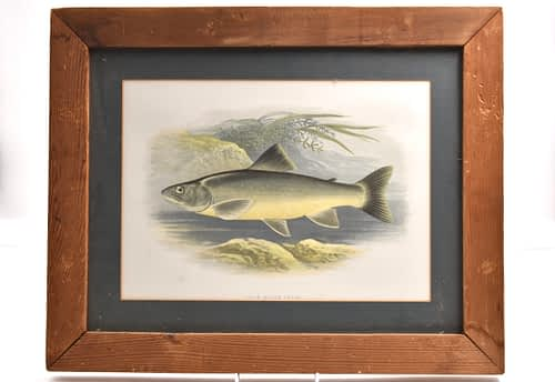 Print of Bull Trout by Rev W Houghton